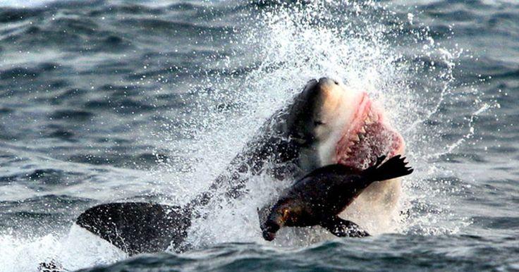 Foca escapa milagrosamente de ataque de grande tubarão branco