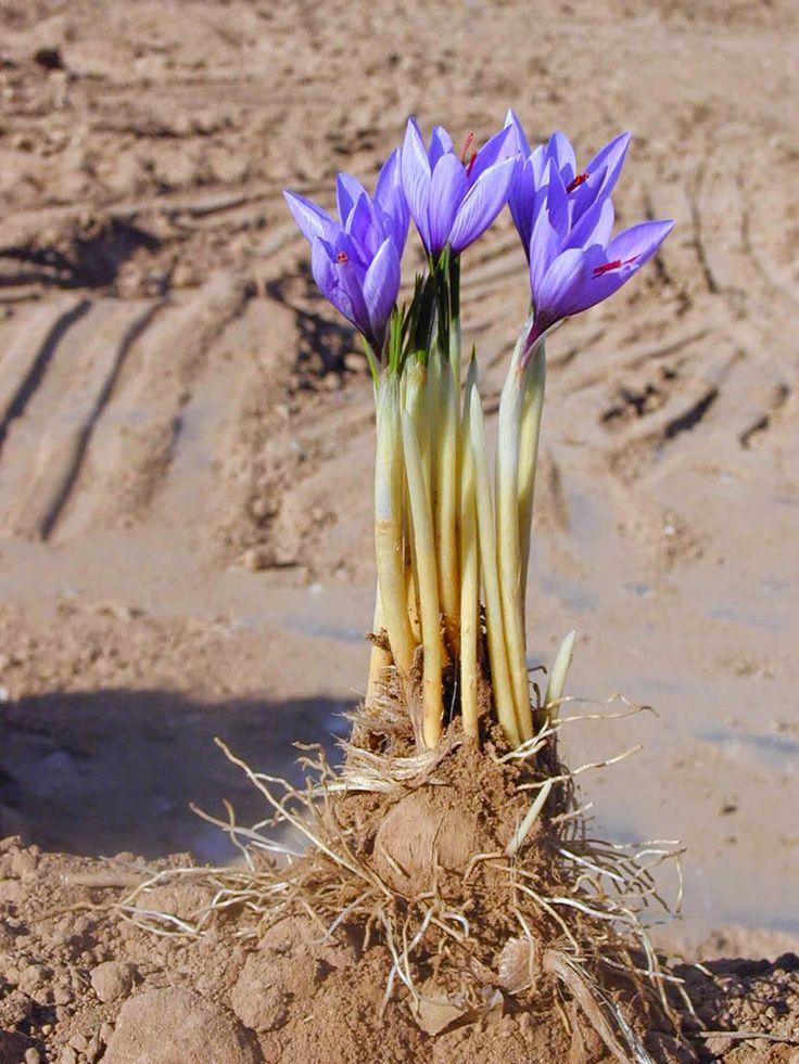 ক্রোকাস স্যাটিভাস (Crocus sativus)
