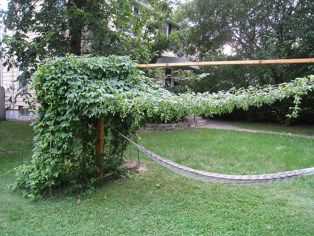 I see a hop trellis over a hammock swing in our future. Not sure when, but it's coming