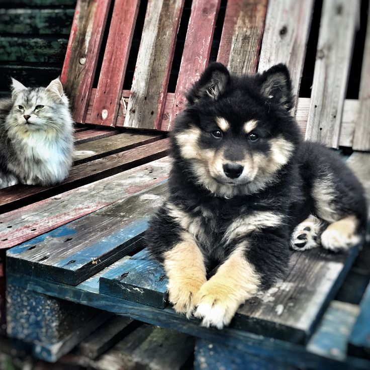 Vos & Lee. #Lapinkoira #Siberiancat