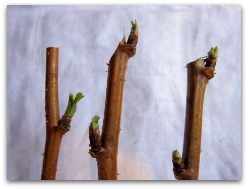 pruning raspberry canes tip prunes How to Prune Raspberries: Instructions, Photos, and a Video