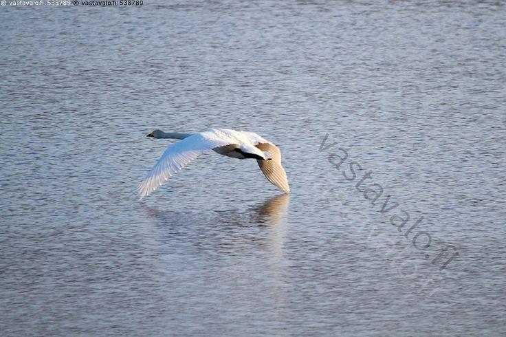 Matalalentoa - joutsen lintu valkoinen luonto järvi vesi laulujoutsen lentävä kevät veden pinta vesilintu lentää kansallislintu matalalento