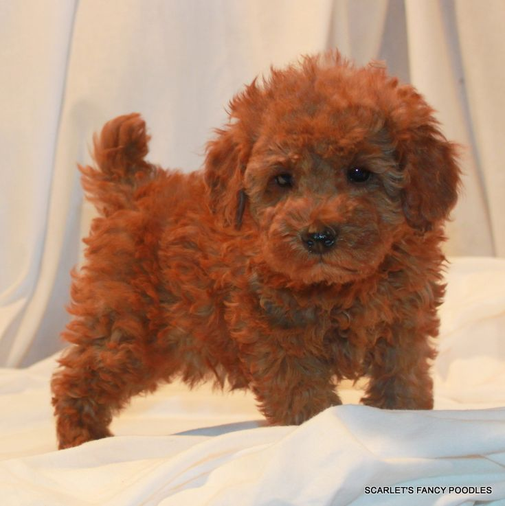 Red Miniature poodle. AKC poodle. Scarlet's Fancy poodles.
