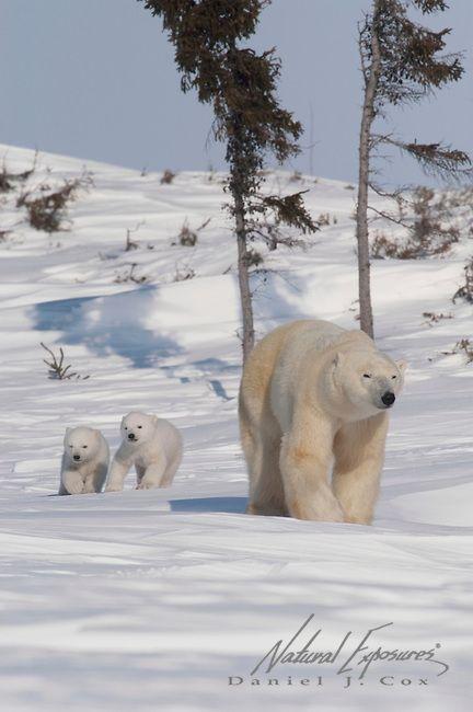 Polar bear mom and cubs (copyright: Daniel J. Cox)