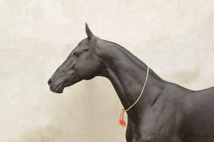 Akhal-Teke stallion Гараюсуп (Garayusup)
