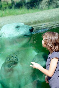 Sta oog in oog met de ijsberen van Dierenpark Ouwehands in Rhenen.