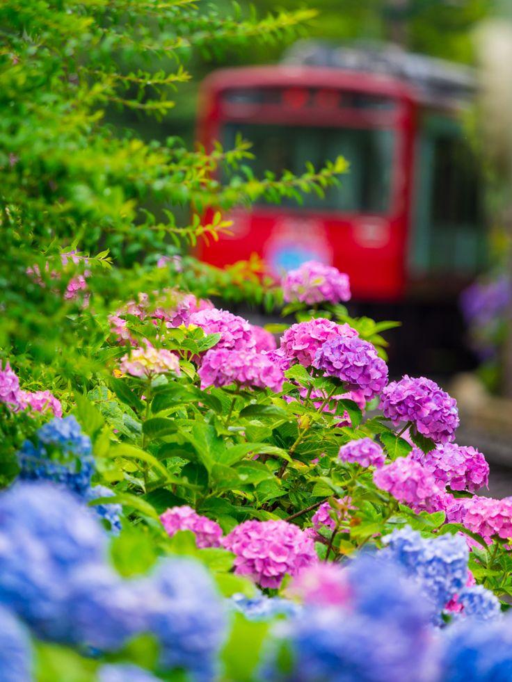雨の箱根  Hakone #Hydrangea #紫陽花