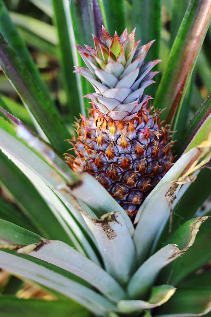 Pineapples in Thailand