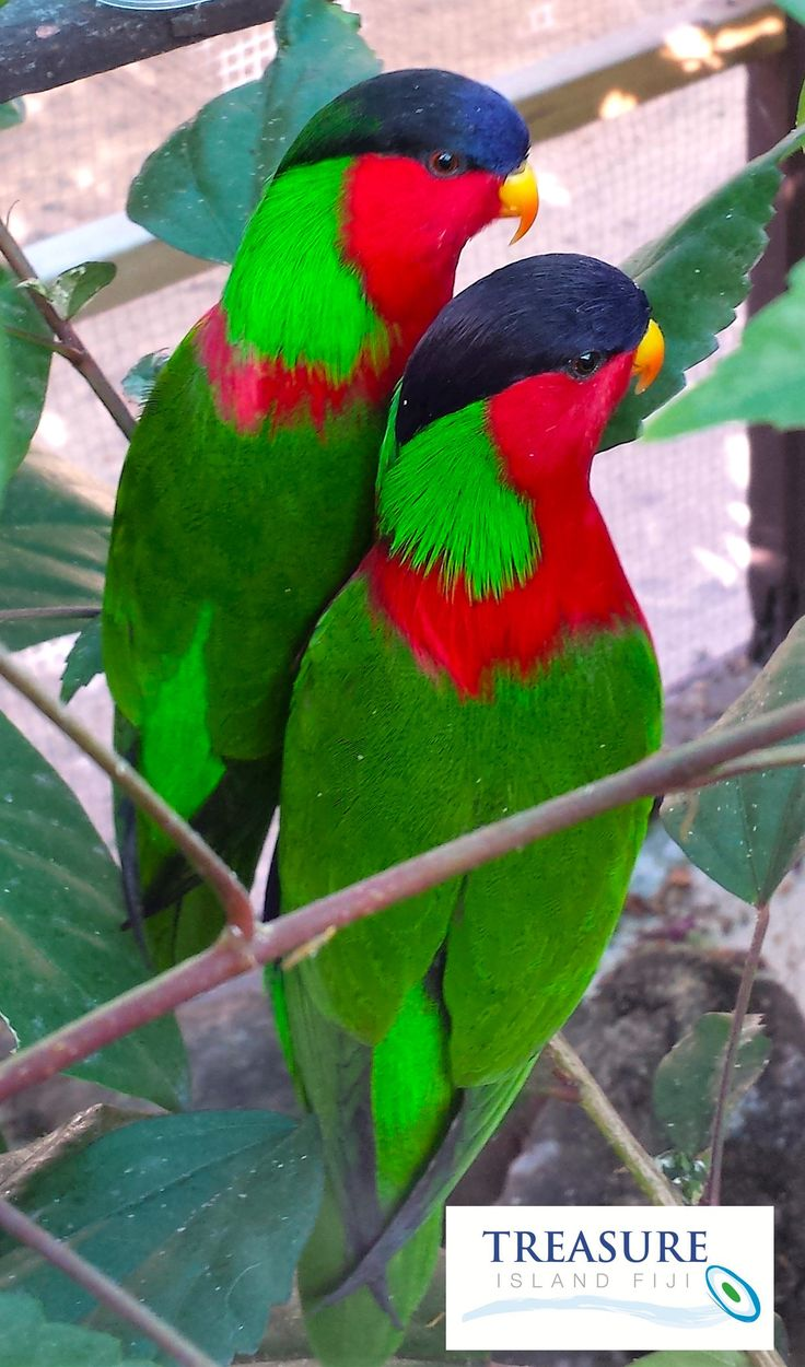 Our latest Treasure family addition are these two little cuties! The Collared Lory, or Kula Bird as they are known locally, is the national bird of Fiji and a very beautiful addition to our wildlife here on the island. This pair arrived yesterday and will settle in over the next few days before being released to fly free around the island. For now you can find them sharing Coco the iguana's enclosure. Thanks to ‪#‎KulaEcoPark‬ for the kind donation. ‪#‎treasureislandfiji‬ ‪#‎kulabird‬ ‪