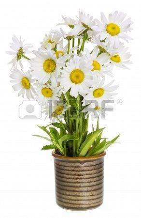 Un piccolo bouquet di margherite di campo semplici selvatiche prato in un vaso di ceramica villaggio rustico. Isolato, messa a fuoco seletti...