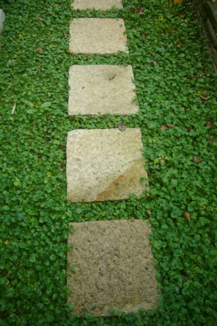 Kidney weed (Dichondra repens). Perfect for around the pavers.