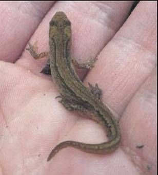 Smooth Newts are widespread throughout Ireland.