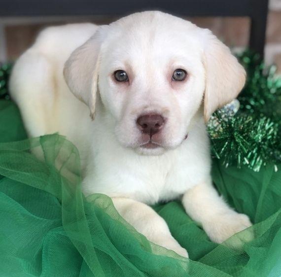 Elsa Lab Labrador Retriever Labrador Retriever Puppies Labrador