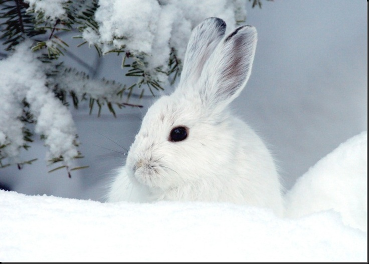 Winter Snowshoe Hare - Photographer: Bern Krausse