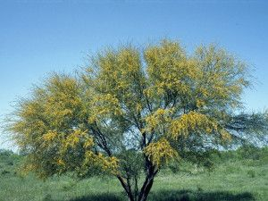 Acacia per il sistema nervoso