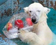 シロクマに氷の贈り物大阪 大暑で天王寺動物園  このニュースをみるともうそんな時期かと思います  http://ift.tt/2ai8QVB