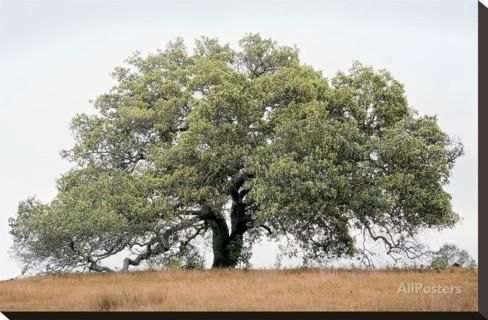 Oak Tree #72 Stretched Canvas Print by Alan Blaustein at AllPosters.com
