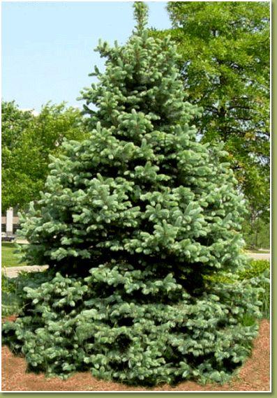 christmas evergreen spruce tree - photo #24