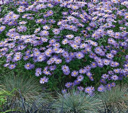 Aster x frkartii 'Monch'- a trooper of plant for the autumn.