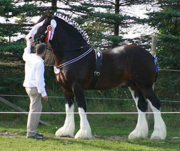 IL CAVALLO SHIRE. E' uno dei cavalli più alti del mondo, discendente dal Great Horse, un cavallo medievale impiegato nei tornei e derivato dai cavalli da tiro del Nord Europa con probabile apporto di sangue orientale. Nei tornei medievali era in grado di portare cavalieri che… Per continuare a conoscere la razza: https://itunes.apple.com/it/app/vademecum-del-cavallo-secondo/id765697733?mt=8&uo=4 Grazie.