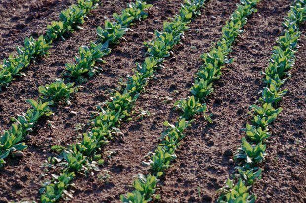 Steckt Spinat voller Eisen?