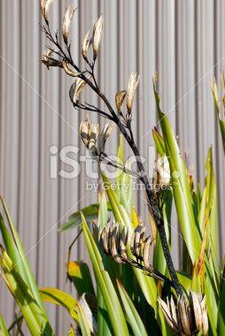 New Zealand Flax & Corrugated Iron Background Royalty Free Stock Photo