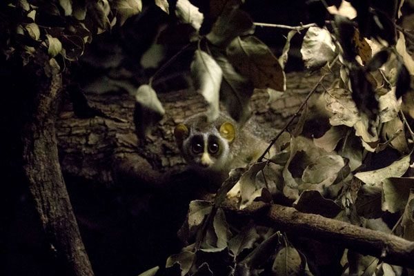 17 Best images about Slender & Slow Loris - Endangered ...