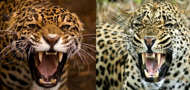 Compare Leopard Vs Jaguar | Birds | Pinterest | Leopards ...