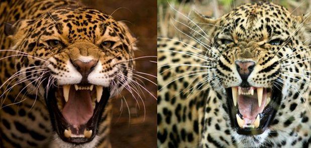 Compare Leopard Vs Jaguar | Birds | Pinterest | Leopards ...