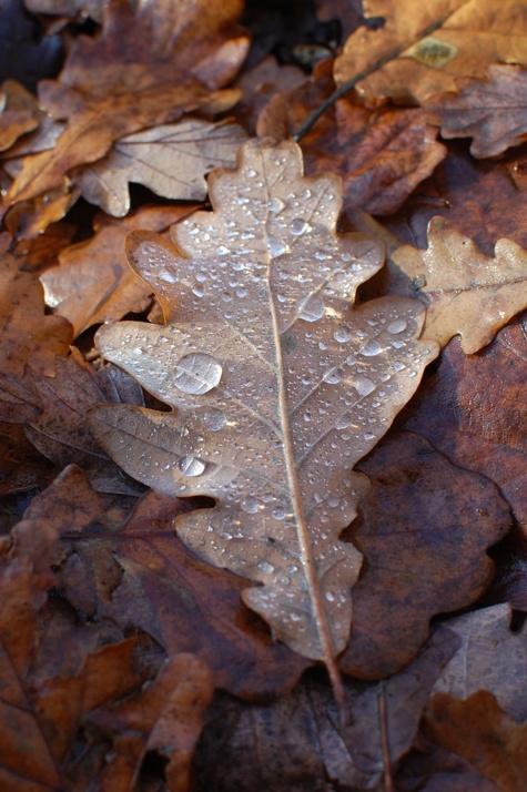early morning oak leaf