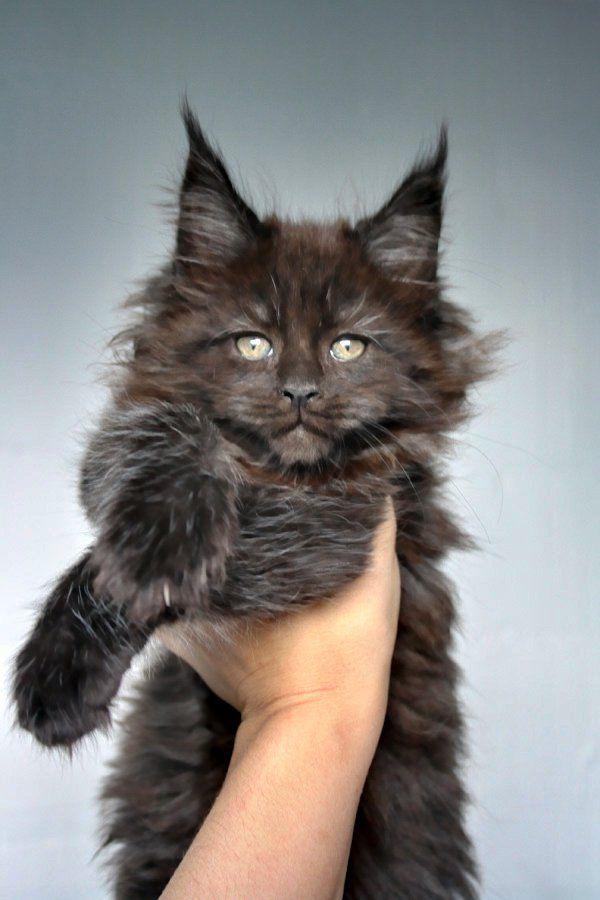 Maine Coon of Superbia - Suberbias C-Kitten - Superbias Cadya