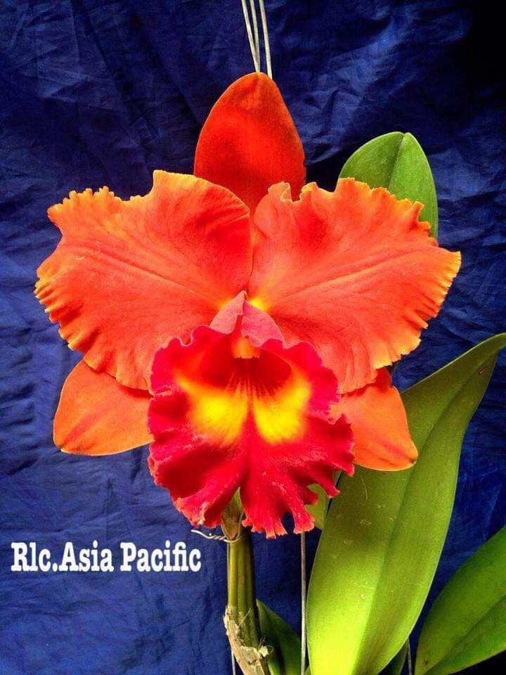 Cattleya Orchid Plants Rlc Asia Pacific In 3 5 Pot Blooming Flower Houseplant After You Plant The Orchid You Can Grow Up An Orchid Plants Cattleya Orchids