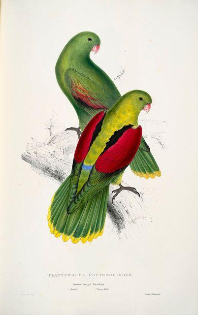 Platycercus erythropterus. Crimson-winged parrakeet