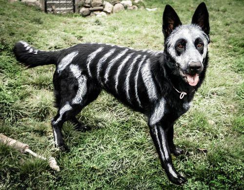 "knightofocean: "" undeceased: "" German Shepherd Dog painted in time for Halloween. (x) "" SPOOPY PUPPY """