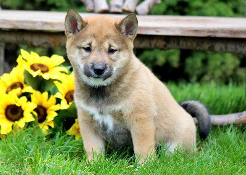 Shiba Inu puppy for sale in MOUNT JOY, PA. ADN-51056 on PuppyFinder.com Gender: Male. Age: 6 Weeks Old