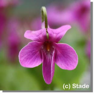Staudenfoto zu Viola odorata 'Red Charme' (Garten-Duft-Veilchen, Märzen-Veilchen)