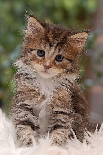 sweet maine coon kitten