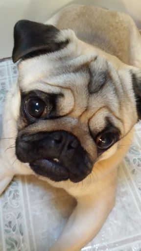 pug breeders in wisconsin best 25 pug puppies for sale ideas on pinterest small 8828