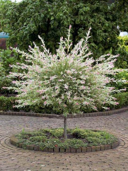 Saule crevetteDimensions adultes: Hauteur jusqu'à 3 mètres, largeur jusqu'à 3 mètres. Feuillage: Caduc, vert tendre, moucheté de rose et de blanc crème. Type de sol: Tous. Climat: Rustique jusqu'à -29°C. Exposition: Ombre à mi-ombre. Propriétés et emplois: Le saule 'Hakuro Nishiki' a un feuillage magnifique. D'abord roses, les jeunes pousses virent ensuite au blanc crème puis verdissent. La floraison jaune vert apparaît au printemps sous forme de petits chatons.