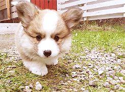 cute corgi puppy gif ift.tt/2g6Ga3E   – Cute <3