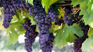 Выращиваем виноград, посадка и уход в саду