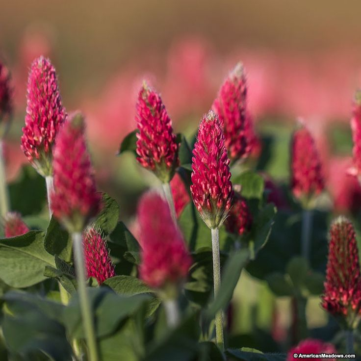 """Crimson Clover's strawberry-red blooms add fun color to any meadow. Growing to be 24-36"""" tall, we recommend planting this variety at the front of the garden or meadow. Not to be confused with the tough perennial red clovers that can take over a meadow, Crimson Clover is a non-invasive annual that can help enhance your soil and attract pollinators to the garden or meadow. Gorgeous on its own or paired with other wildflowers. All of the seed we handle at American Meadows is non-GMO…"""