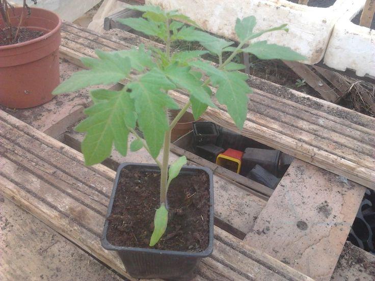 Cultivez des tomates précoces !   Conseils Jardinage Bio