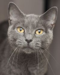 Destiny is an adoptable Domestic Short Hair Cat in Noblesville, IN. The definition of the word destiny is: the predetermined, usually inevitable or irresistible course of events. Could it be our desti...love this face, I love the gray cats with green eyes. long and short fur.