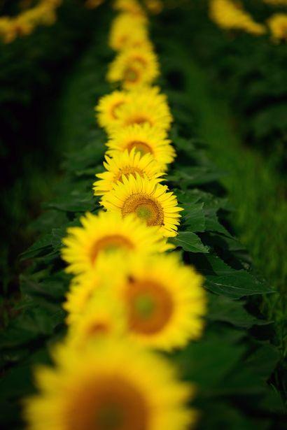Love those Sunflowers!  :)
