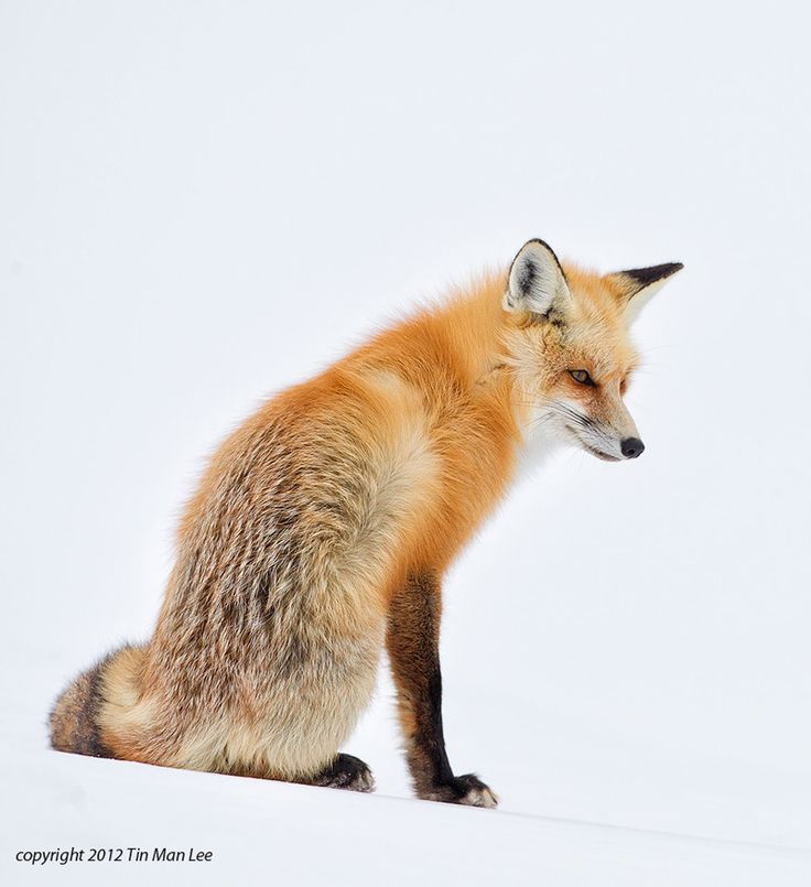 Red Fox Sitting & Waiting for Us Wild Things Pinterest