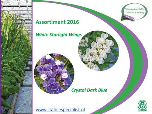 De vertouwde blauwe Statice, Crystal Dark Blue en White Starlight Wings. Deze laatste ook zeer geschikt voor bruidsbloemen, boeket, haarcorsages, corsages en auto stukken. Past bij alle kleuren!