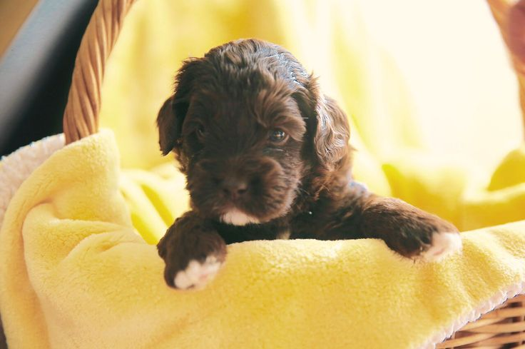 Hello everyone, I am the owner of two Small/med Labradoodles. I love them so much that since they first arrived at my home I give them the best that is available. They DO eat high quality dry and wet food every day but they also eat organic chicken/ salmon/ pollock, vegetables, fruit, and yogurt every day !! My father has a dog farm so I learn everything from a professional.After my baby girl got pregnant, I make sure she eats regularly and drink dilute goat milk. Everything else is kept…