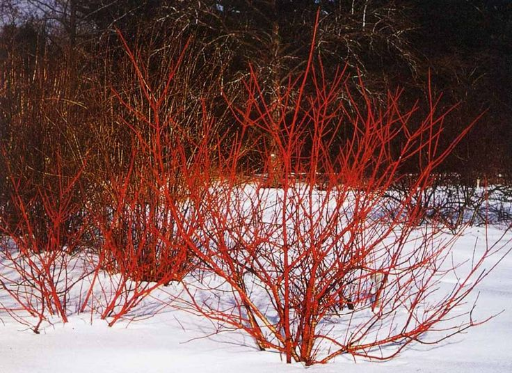 Arctic Fire™ Red Twig Dogwood is a compact selection of Red Twig Dogwood that has dark red stems that provide a spectacular show in the winter sunlight. Unlike most Cornus that reach 8 to 10 feet tall, Arctic Fire grows to only half the height. Great in perennial or shrub borders, or used in flower arrangements. Cut vibrant stems for a dynamic addition to holiday arrangements. Zones 3-7