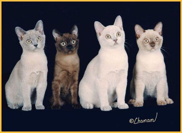 Burmese Cats Go Meow